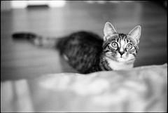 img294 (nicolasmathieudosiere) Tags: ishootfilm filmisnotdead cats catsonfilm chats bnw ilford blackandwhite minolta x700 oldcamera indoor home 35mmslr 50mm17 hp5 plus