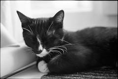 img288 (nicolasmathieudosiere) Tags: ishootfilm filmisnotdead cats catsonfilm chats bnw ilford blackandwhite minolta x700 oldcamera indoor home 35mmslr 50mm17 hp5 plus