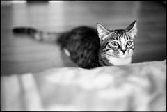 img292 (nicolasmathieudosiere) Tags: ishootfilm filmisnotdead cats catsonfilm chats bnw ilford blackandwhite minolta x700 oldcamera indoor home 35mmslr 50mm17 hp5 plus