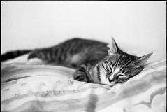 img302 (nicolasmathieudosiere) Tags: ishootfilm filmisnotdead cats catsonfilm chats bnw ilford blackandwhite minolta x700 oldcamera indoor home 35mmslr 50mm17 hp5 plus