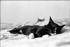 img306 (nicolasmathieudosiere) Tags: ishootfilm filmisnotdead cats catsonfilm chats bnw ilford blackandwhite minolta x700 oldcamera indoor home 35mmslr 50mm17 hp5 plus