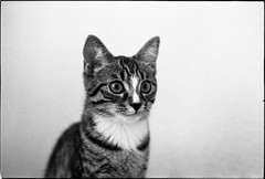 img307 (nicolasmathieudosiere) Tags: ishootfilm filmisnotdead cats catsonfilm chats bnw ilford blackandwhite minolta x700 oldcamera indoor home 35mmslr 50mm17 hp5 plus