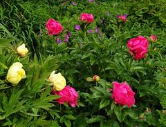 2019 Germany // Unser Garten - Our garden // im Mai // Päonie (maerzbecher-Deutschland zu Fuss) Tags: garten natur deutschland germany maerzbecher garden mai unsergarten 2019 päonie