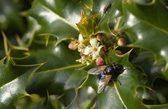 Noon/Holly (Tony Tooth) Tags: nikon d7100 sigma 70mm macro insect fly noonfly mesembrinameridiana holly hollyflower wincle cheshire nature