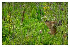 Capreolus capreolus (M.L Photographie) Tags: capreolus chevreuil deer reddeer animal mammifère nature wild wildlife wildlifephoto wildlifephotography france normandie eure sony dschx400v