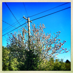 Apple Blossom (Julie (thanks for 8 million views)) Tags: 100xthe2019edition 100x2019 image58100 appleblossom spring squareformat hipstamaticapp iphonese wexford flora ireland irish countryside tree htmt telegraphpole songlyrics