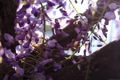 20190418_f05 : 朝の藤 (G-TAKI) Tags: japan fukuoka yanagawa 日本 福岡 柳川 nakayamanooofuji 中山の大藤 flower garden wisteria フジ 藤