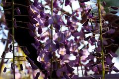 20190418_f04 : 朝の藤 (G-TAKI) Tags: japan fukuoka yanagawa 日本 福岡 柳川 nakayamanooofuji 中山の大藤 flower garden wisteria フジ 藤