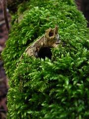 (Vallø) Tags: vallø 2019 denmark danmark århusv aarhus skjoldhøjkilen nature natur moss green grøn outside outdoor forest skov closeup dof
