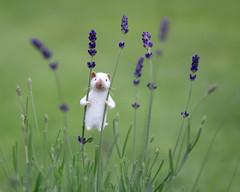 Rodney shows off his climbing prowess (hehaden) Tags: mouse needlefelted miniature white lavender plant garden climbing sel55f18z