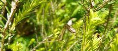Creepy Creature (MedievalRocker) Tags: spider heatherbush