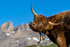 Swiss cow (Carandoom) Tags: swiss cow switzerland mountain lake dam salanfe animal sony a7iii