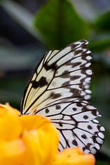 Flowers' Smell (Bloui) Tags: 2019 botanicalgarden butterfliesgofree eos7d jardinbotanique papillonsenliberté march serres montréal québec yellow idealeuconoe ricepaper leuconoé