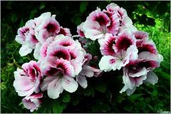 Englische Geranien (h.bresser) Tags: hbresser hartmutbresser geranien englischegeranien blumen flowers garten