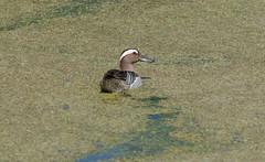 Чирок-трескунок - Garganey (SvetlanaJessy) Tags: природа птицы чирок bird birds