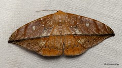 Leaf imitating Moth, Oxydia translinquens, Geometridae (Ecuador Megadiverso) Tags: andreaskay ecuador ennominae geometermoth geometridae leafimitating moth oxydiasp wildsumaco oxydiatranslinquens