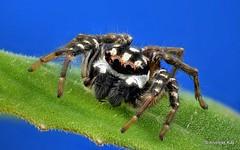 Jumping spider, Freya decorata, Salticidae (Ecuador Megadiverso) Tags: andreaskay arachnida ecuador focusstack freyadecorata jumpingspider salticidae spider