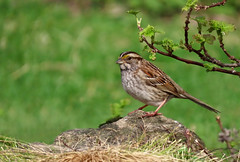 White-throated Sparrow (Meryl Raddatz) Tags: bird sparrow nature naturephotography canada wildlife whitethroatedsparrow
