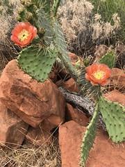 2019-05-16 GOPS Snow Cyn (133) (MadeIn1953) Tags: 2019 201905 20190516 utah snowcanyonstatepark statepark cactus cactusflower