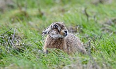 Whiskers galore. (pstone646) Tags: hare conjoe nature animal wildlife mammal whiskers elmleynnr kent grass