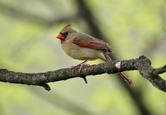 Cardinal (Diane Marshman) Tags: northerncardinal adult female mature nothern cardinal brown tan red wings tail feathers head crest black face orange beak medium size bird maple tree branch spring pa pennsylvania nature wildlife