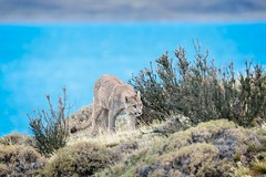 Low Profile Lion (Glatz Nature Photography) Tags: animal predator bigcats cat mammal nikond850 panther mountainlion cougar pumaconcolor puma petaca chile glatznaturephotography magallanes nature patagonia southamerica torresdelpaine wildanimal wildlife