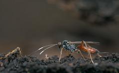 Ichneumonidae (species?) (Benjamin Fabian) Tags: hymenoptera ichneumonid wasp schlupf wespe insect hexapod arthropod holometabola close up macro profile