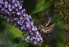 Sphinx à lignes blanches / White-lined Sphinx Moth (rcomard3) Tags: sphinx whitelined moth