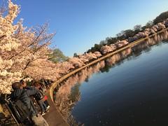 IMG_4153 (francesxcabrini) Tags: cherry blossoms cherryblossoms washingtondc flowers sunrise jeffersonmemorial washingtonmonument tidalbasin