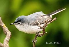 Blue-gray Gnatcatcher (Lindell Dillon) Tags: bluegraygnatcatcher neotropical birds birding nature oklahoma crosstimbers wildoklahoma