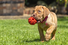 Mabel (Kev Gregory (General)) Tags: mabel dog dogue de bordeaux doguedebirdeaux bitch pet play run fawn colour isabella pup puppy baby turner hooch french mastiff hound goirl yoing mammal sweet cute home garden kev gregory canon 6d mark 2 ii wrinkles sun sunshine