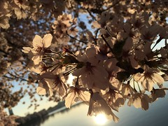 IMG_4175 (francesxcabrini) Tags: cherry blossoms cherryblossoms washingtondc flowers sunrise jeffersonmemorial washingtonmonument tidalbasin