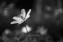 wood anemone (Jos Mecklenfeld) Tags: sonya6000 sonyilce6000 sony30mmf35macro sel30m35 westerwolde niederlande nederland flowers blumen bloemen forest wald bos nature natur natuur bosanemoon anemonenemorosa buschwindröschen woodanemone bw terapel groningen netherlands