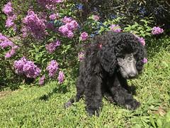 (Jean Arf) Tags: mersey dog poodle standardpoodle puppy baby highlandpark rochester spring 2019 lilacs bush flower blossom
