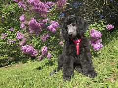 (Jean Arf) Tags: mersey dog poodle standardpoodle puppy baby highlandpark rochester spring 2019 lilacs bush flower blossommersey blossom
