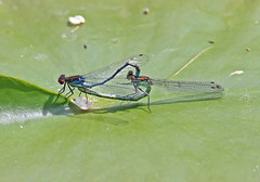 Red Eyed Damselfly - Michael Bird (Just call me Doc) Tags: erythrommanajas redeyeddamselfly damselflies dragonfly dragonflies odanata redeyes mating male female nottinghamcanal lilypads awsworth bennerley nottinghamshire michaelbird canon tamron g2 6d 150600mm
