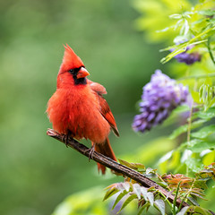 Birds & Blooms (Neal Lewis) Tags: northerncardinal cardinal malenortherncardinal redbird songbird bird wisteria