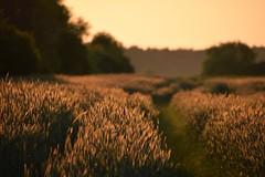 evening mood (JoannaRB2009) Tags: mood evening nature landscape view fields path sunset goldenhour afterrain spring łódzkie lodzkie polska poland