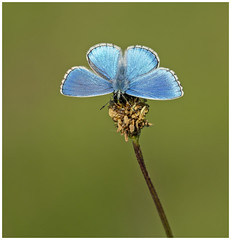 Adonis Blue (nigel kiteley2011) Tags: adonisblue lysandrabellargus butterfly butterflies lepidoptera nature macro insects canon 5dmk3 sigma180mm