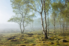 Peak Morning II (J C Mills Photography) Tags: peakdistrict derbyshire mist morning spring woodland trees sigma 35mm art birch light
