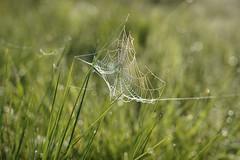 Cobweb (Lux Aeterna - Eternal Light) Tags: spiderweb web spider