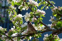 Pilfink (evisdotter) Tags: pilfink eurasiantreesparrow passermontanus bird fågel appletree äppelträd flowers blommor nature light sooc