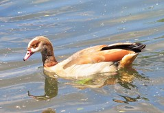 Egyptian Goose (brianwaller703) Tags: egyptian goose