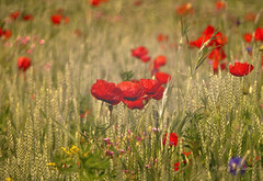 Poppies Moment ... (MargoLuc) Tags: meadow poppies field sunlight spring may bokeh red flowers walk lovely