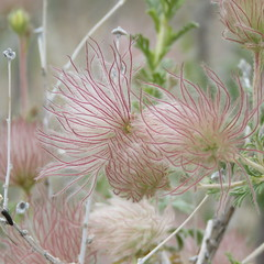 apache plume (hounddiggity) Tags: albuquerque newmexico flower