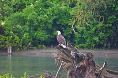 Vedder River Eagle (Neal D) Tags: bc chilliwack greatblueheronnaturereserve vedderriver stump bird eagle baldeagle