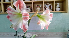 Amaryllis (6th White with red veining of 2019) Close up of  flowers on living room table 20th May 2019 (D@viD_2.011) Tags: amaryllis 6th white with red veining 2019 flowers living room table may