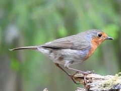Robin (Erithacus rubecula) (eerokiuru) Tags: robin erithacusrubecula rotkelchen rudzik punarind nikoncoolpixp900 p900 bird wildlife nature birding vogel
