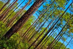 Diagonal Pines (surfcaster9) Tags: pines trees sky blue florida lumix20mmf17llasph lumixg7 nature outdoors