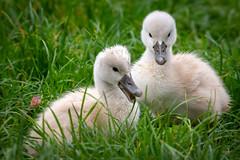 so sweet (juerger69) Tags: schwan küken swan gras grass vogel bird